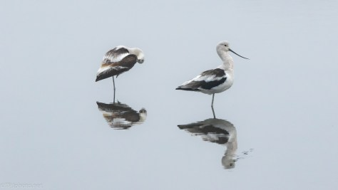 Avocets In The Morning