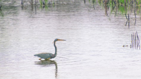 Tricolored Heron Went By