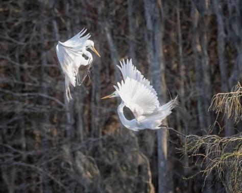 Arial Combat, Great Egret