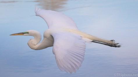 Great Egret Gliding