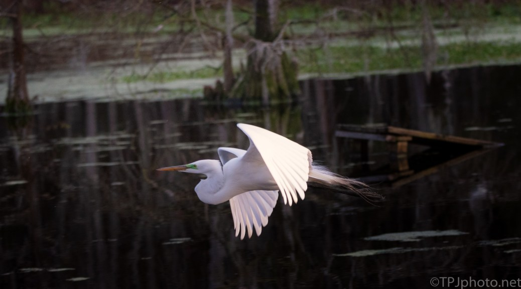 Great Egret Over A Swamp