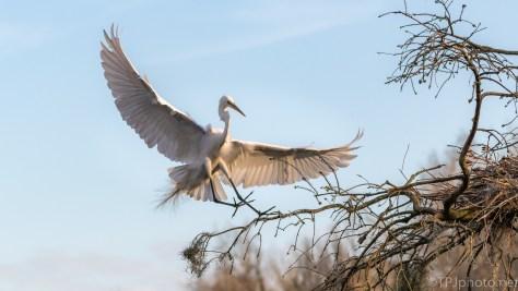 Sunset, Blue Sky, Great Egret