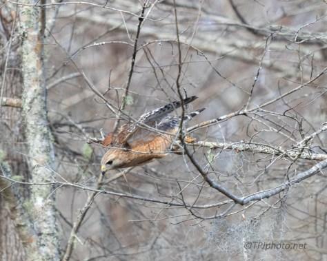 Spotting Some Food, Red-shouldered Hawk