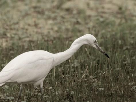 Little Blue Heron, But He's White
