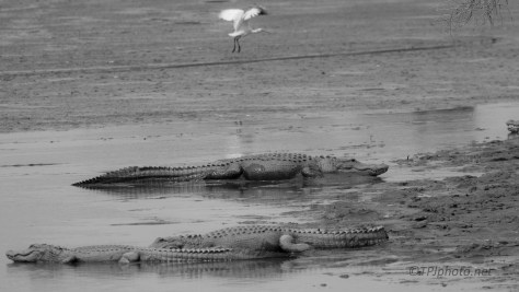 Like An Old Movie, Alligators