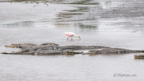 Pretty Confident, Spoonbill, Alligator