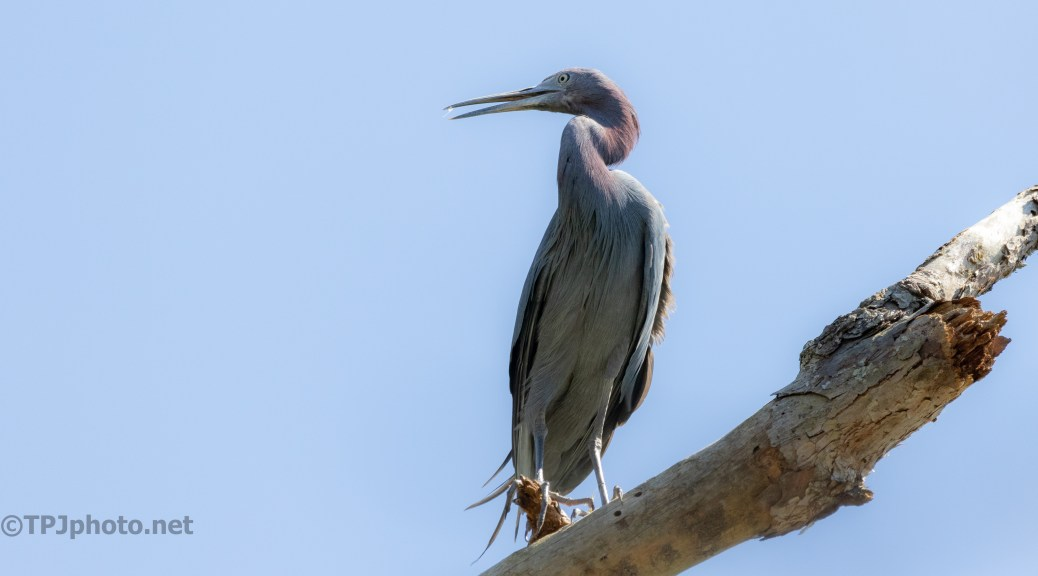 Little Blue Heron, Stay Or Go?
