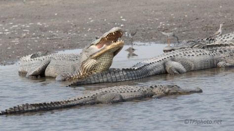 What I Saw At The Watering Hole, Alligator