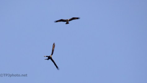 Osprey Against Eagle