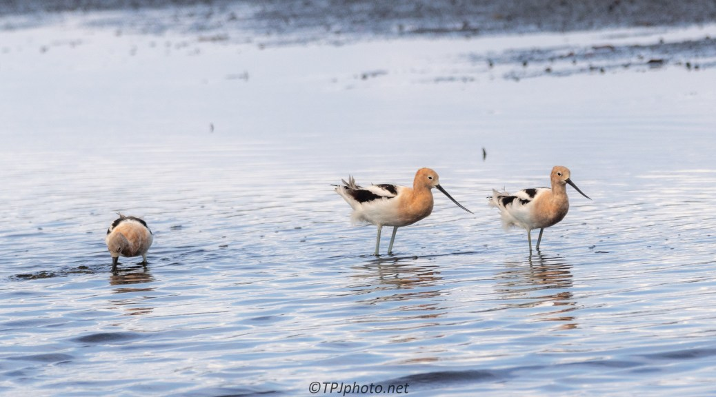 Avocets And Blue Water