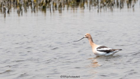 American Avocet, Color Is Starting