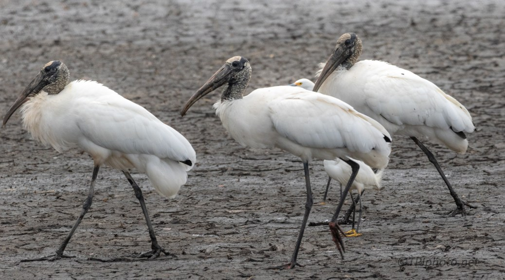 It's A Parade, Wood Storks (And Friends)