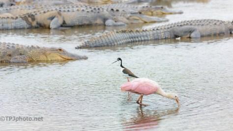Spoonbill, Stilt, And The Alligators