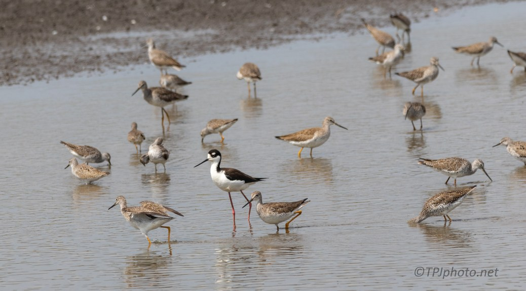 Shore Birds, Stilt
