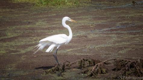 Great Egret, Great Blue Heron