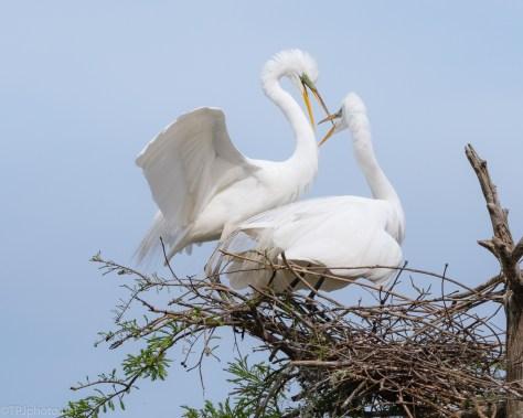 Loud Greeting, Great Egret
