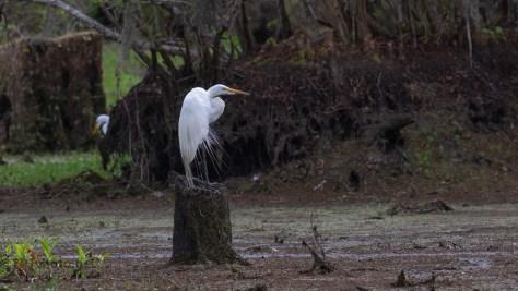 Egret, Keeping His Feet Dry