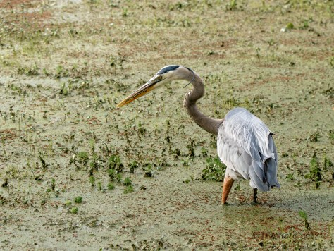 Hunting In A Swamp, Great Blue