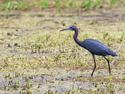 Little Blue Heron, Breeding Colors