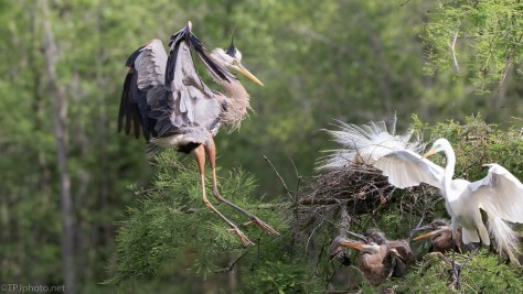 Mom To The Rescue, Heron, Egret