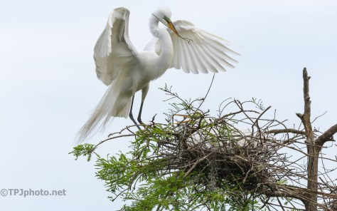 In A Rookery, Great Egret