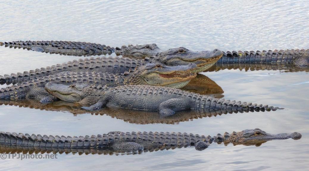 No Gators Today, No Gators