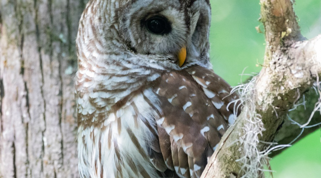 Barred Owl, Almost A Pose