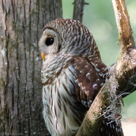 Above It All, Barred Owl