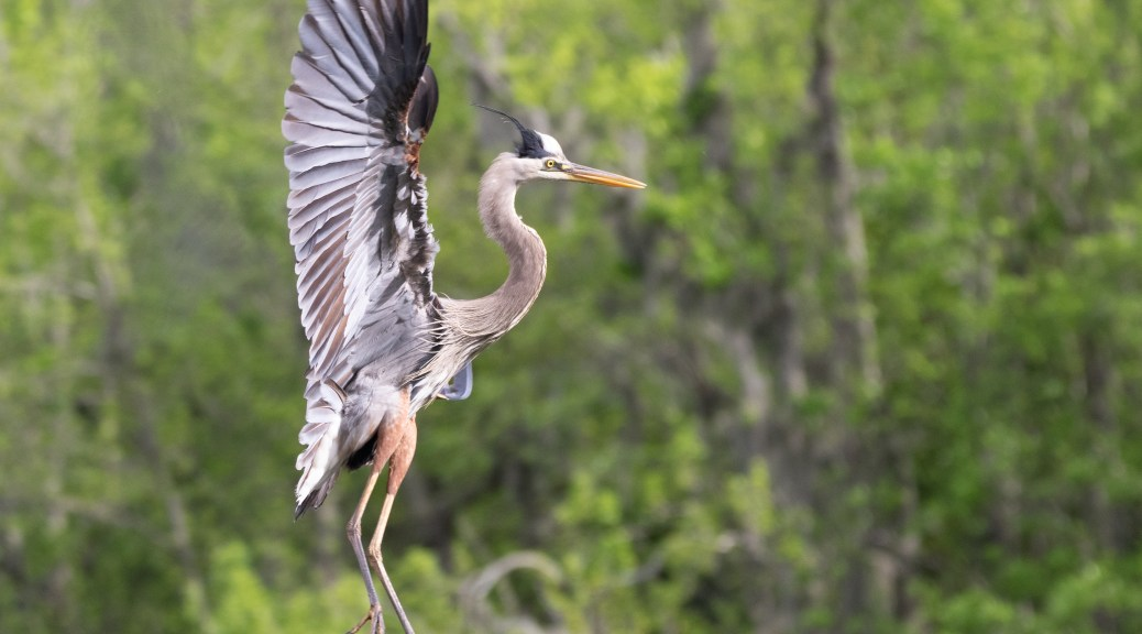 A Lesson In Flying, Great Blue Heron