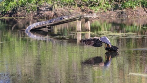 Landing Gracefully Then Gone, Anhinga