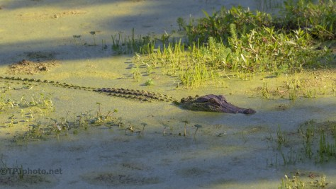 Sun And Shade,Alligator