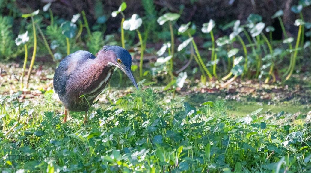 Green Heron In A Wetlands Field