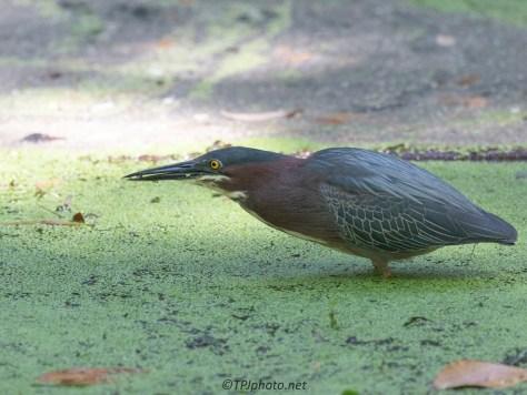 Hunting In Shallows, Green Heron
