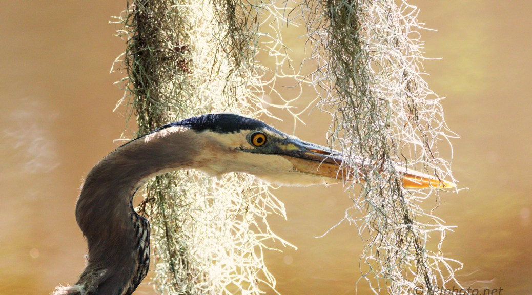 In The Spanish Moss, Heron