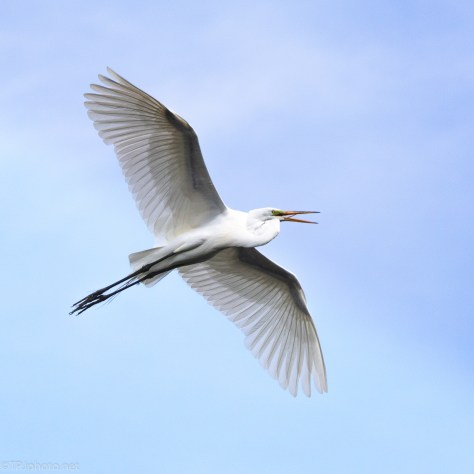 Big Sky With A Great Egret