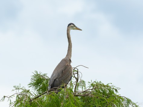 It's A Big World Out There, Heron