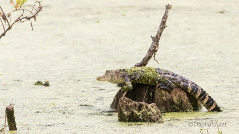 What Was He Thinking, Alligator