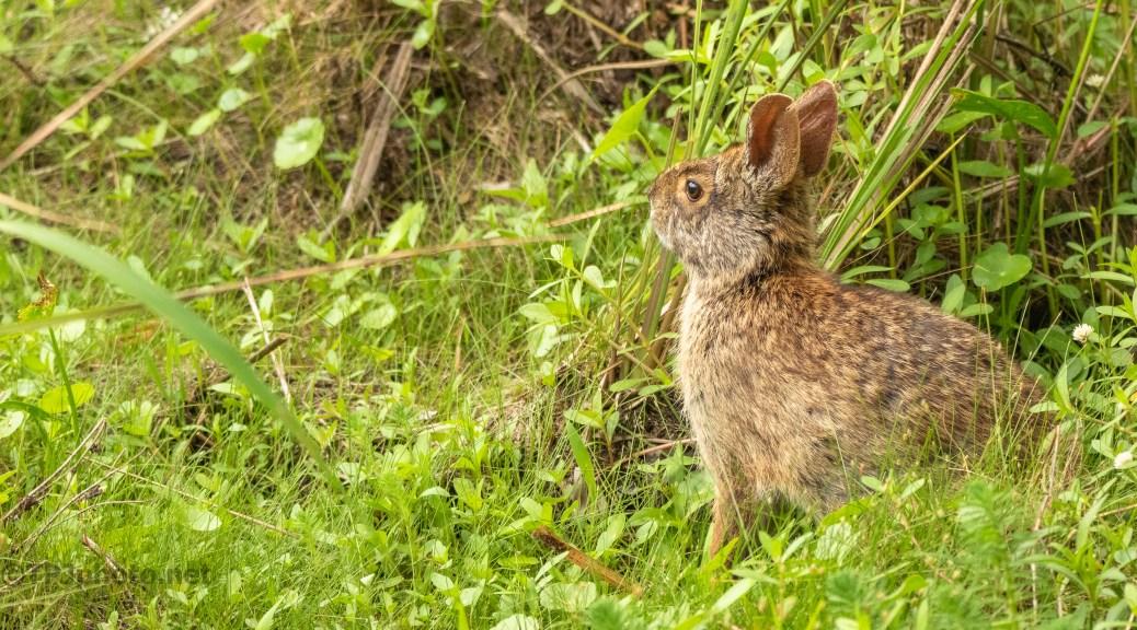 Marsh Rabbit, In Plain Sight