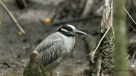 Yellow-Crowned In A Dark Swamp