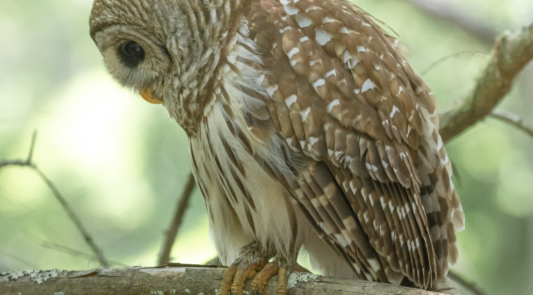Silent And Still, Owl