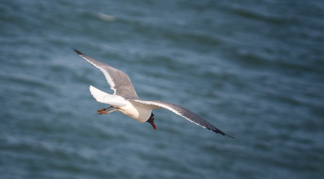 Unusual Perspective, Laughing Gull