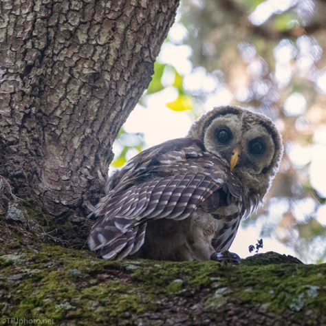 Curious, Barred Owlet