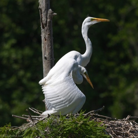 Trying To Stay Cool, Egrets