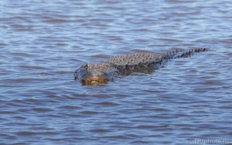 Locals In A Marsh, Alligator
