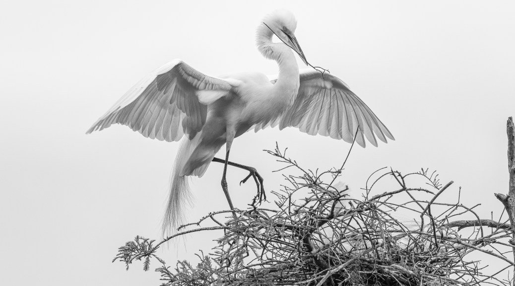 Egret Display In Black And White