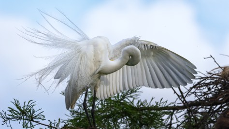 Great Egret Feathers