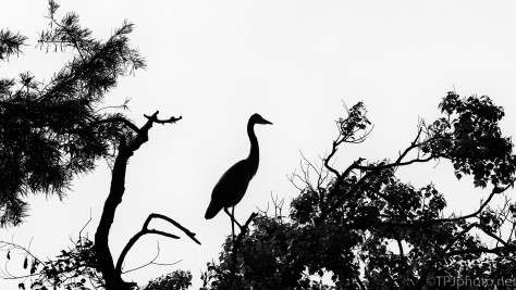 B&W, Great Blue Silhouette