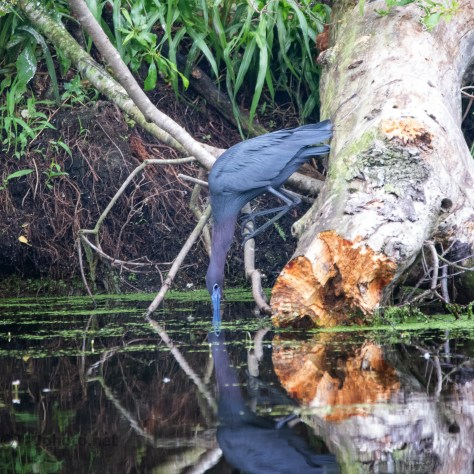 Little Blue In A Swamp