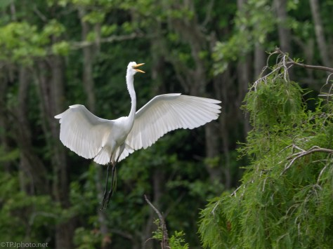 Announcing Himself, Great Egret