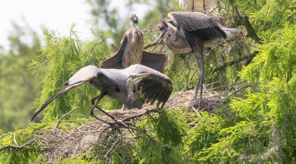 Taking Flight, Great Blue Heron